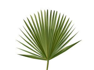 Carnauba Pflanze